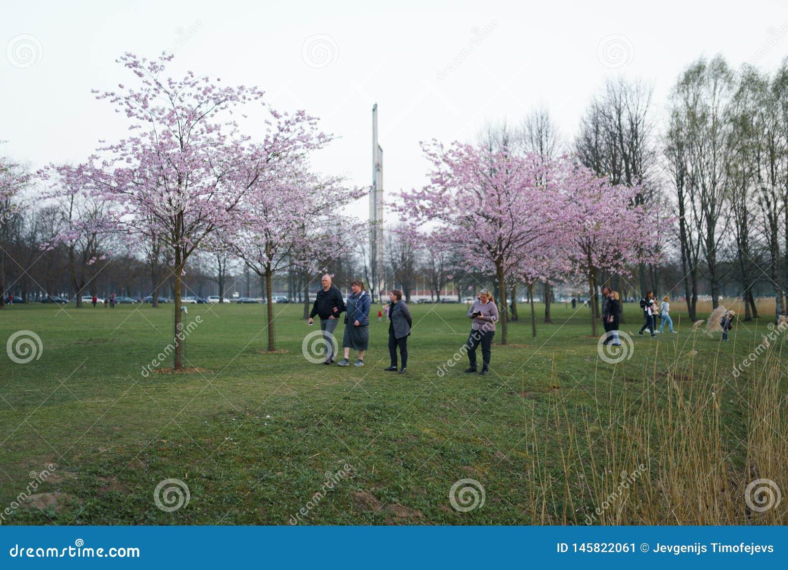 РИГА, ЛАТВИЯ - 24-ОЕ АПРЕЛЯ 2019: Люди в парке победы наслаждаясь вишневым цветом Сакуры - каналом города с летанием чайок