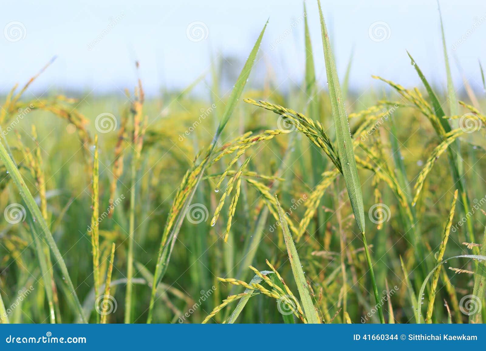 Рисовая посадка