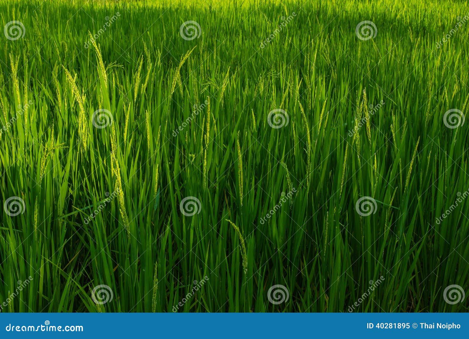 Рис в поле