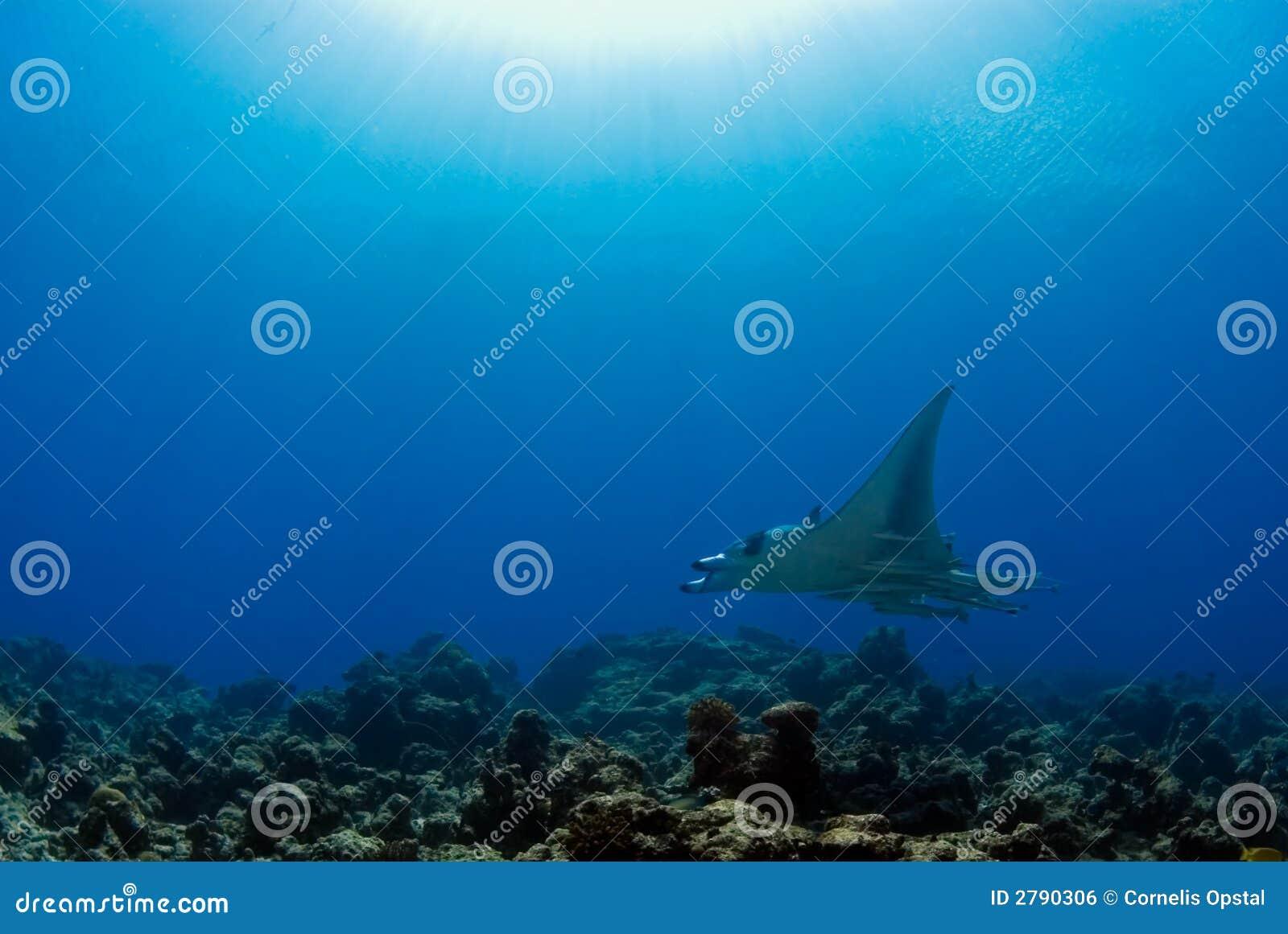 риф луча manta