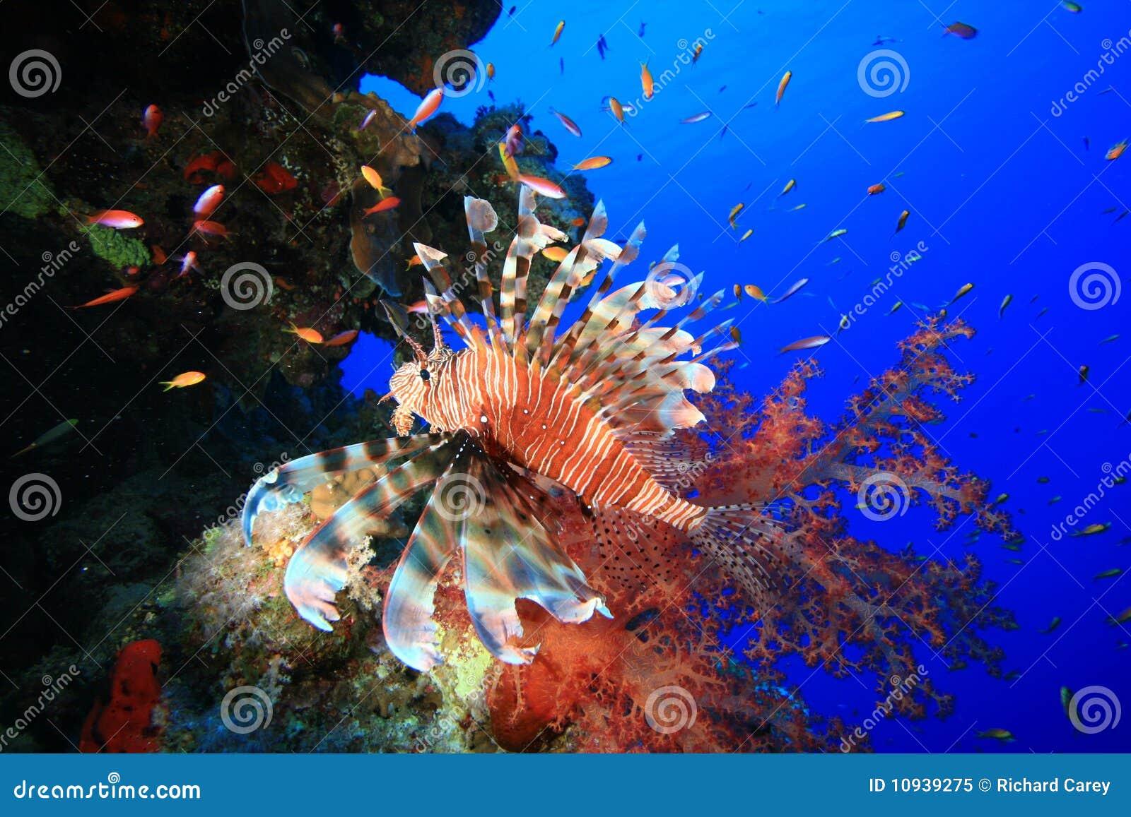 риф lionfish коралла