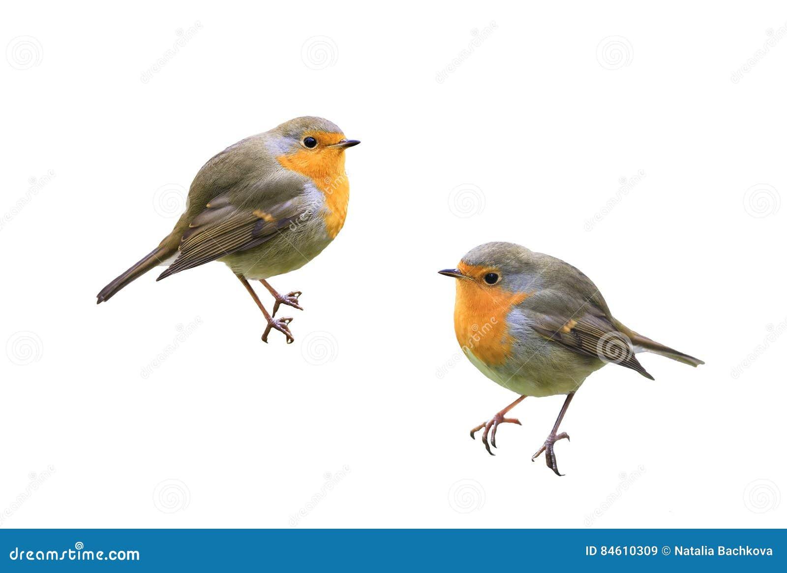 2 робина птиц на предпосылке изолированной белизной