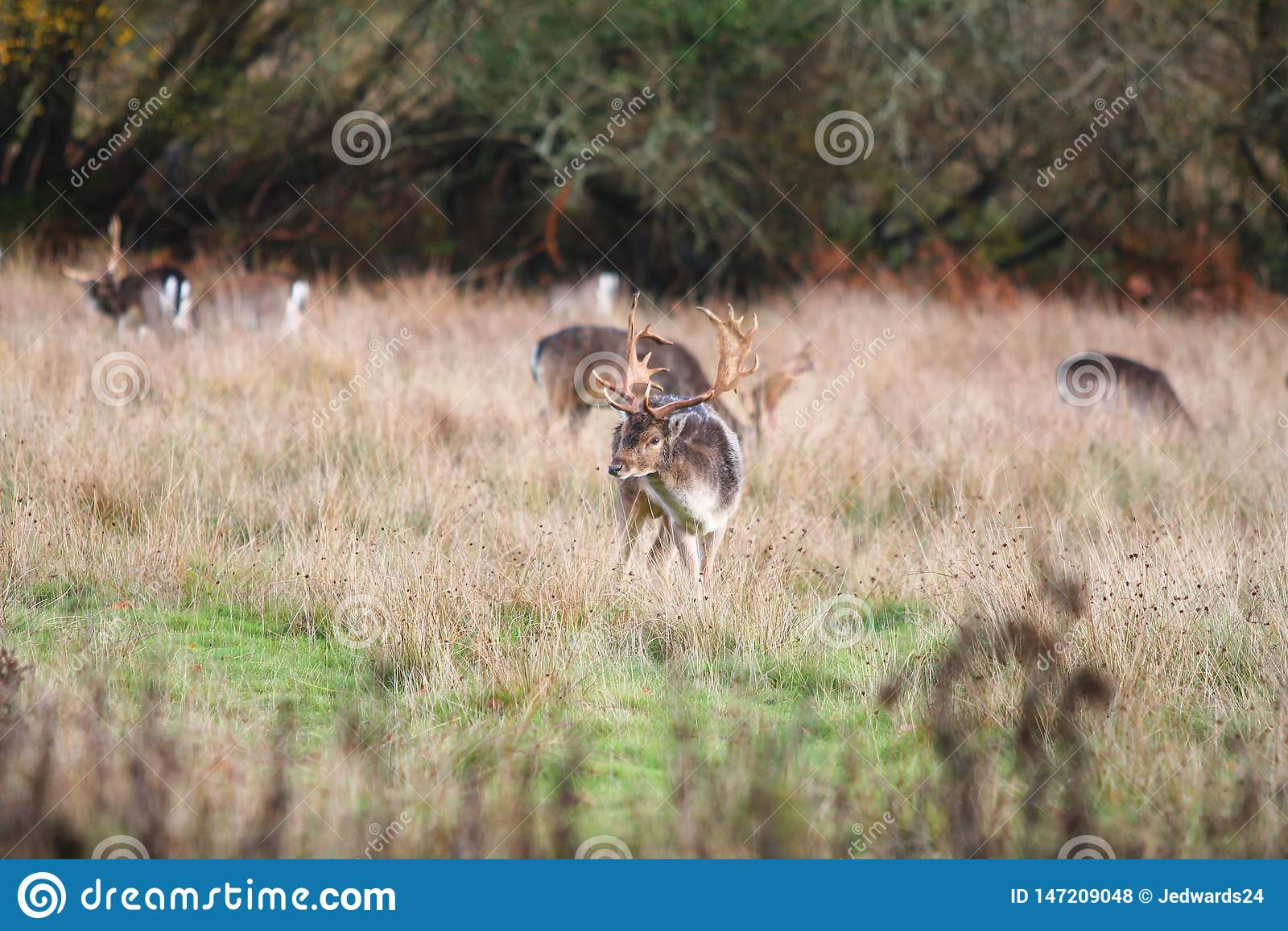 Рогач в траве, новый лес Великобритания