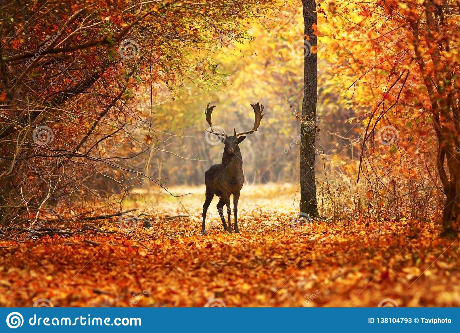 Рогач ланей в красивом лесе осени