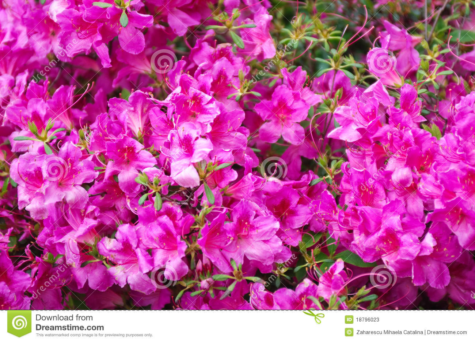 рододендрон детали bush