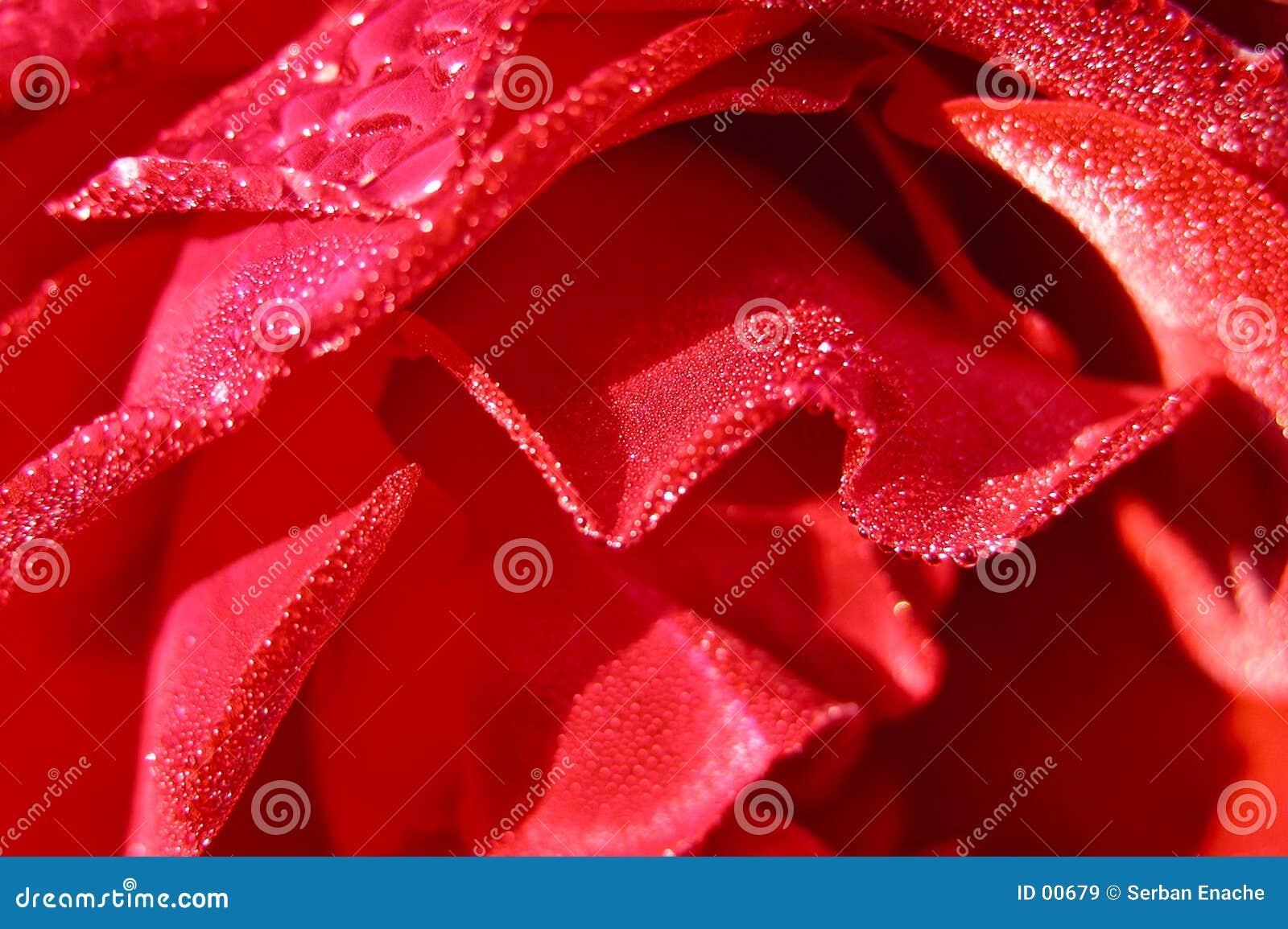 роза детали влажная