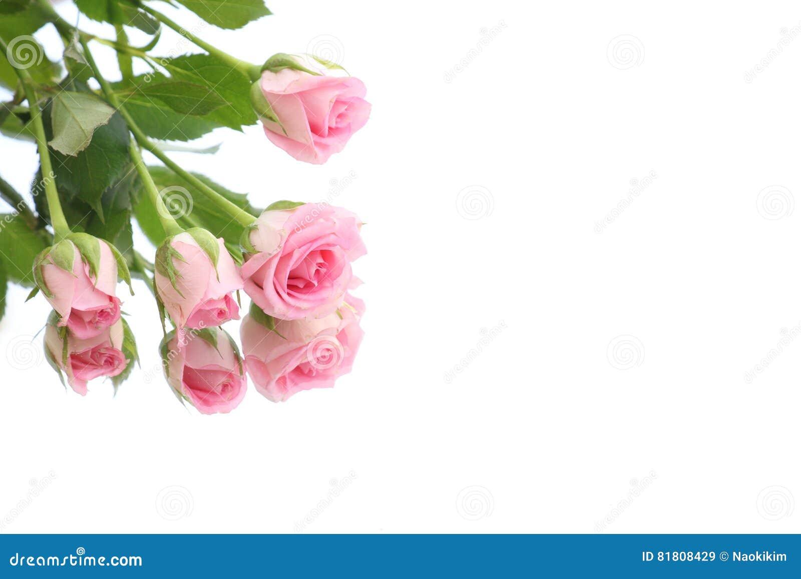 Роза пинка и предпосылка отражения