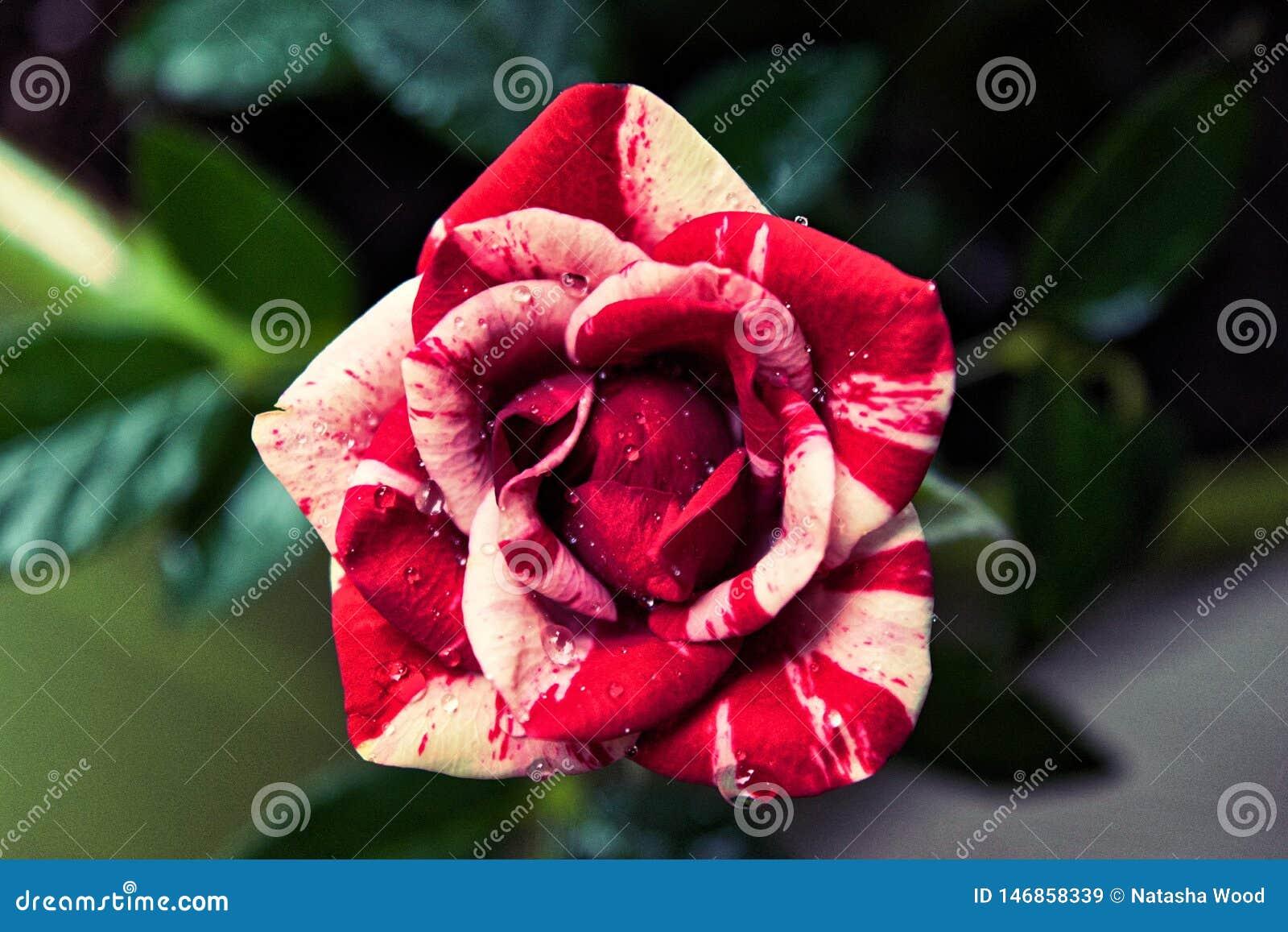 Роза тросточки конфеты striped мини