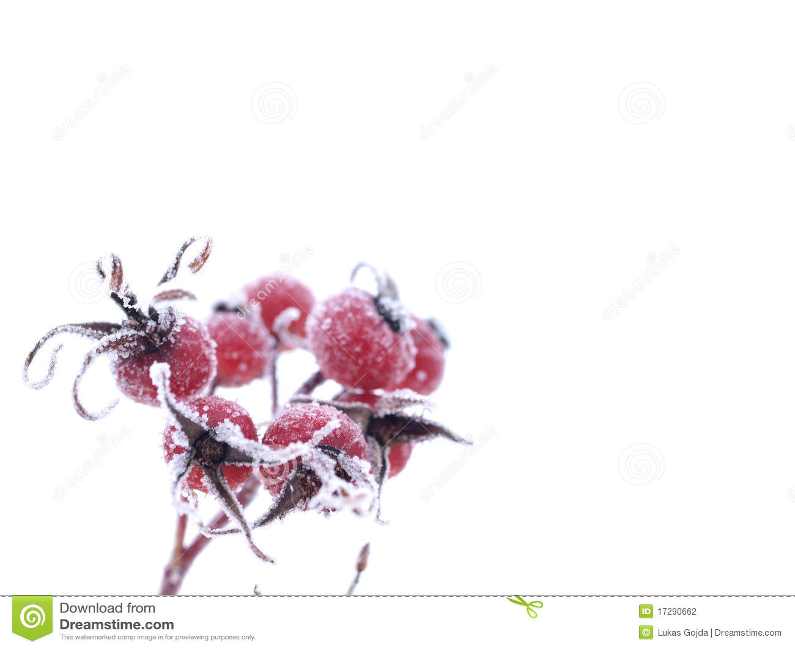 роза hoarfrost одичалая