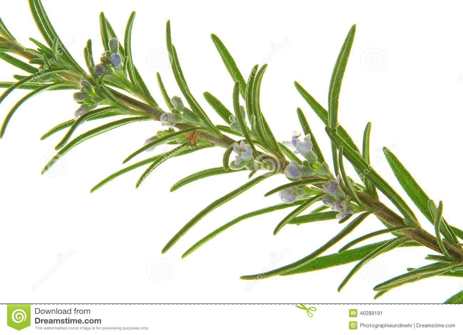 Розмари (officinalis Rosmarinus)