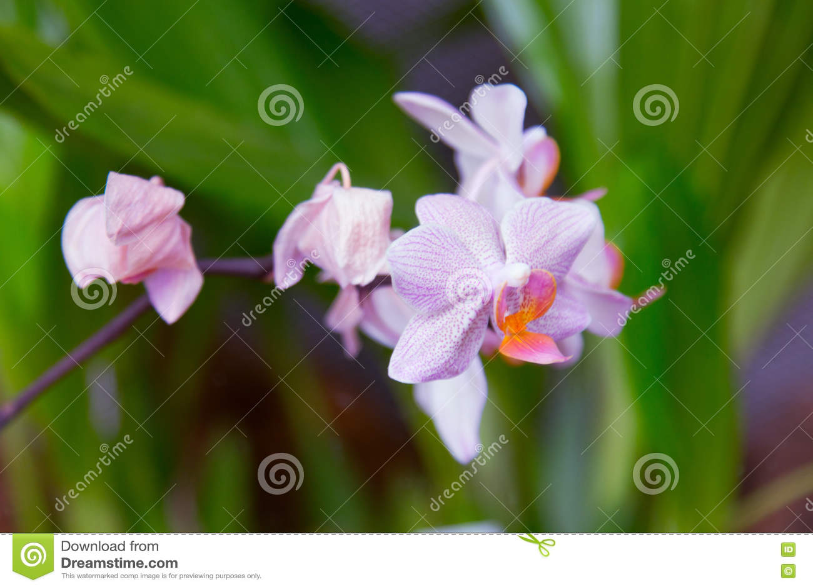 Розовая орхидея в саде