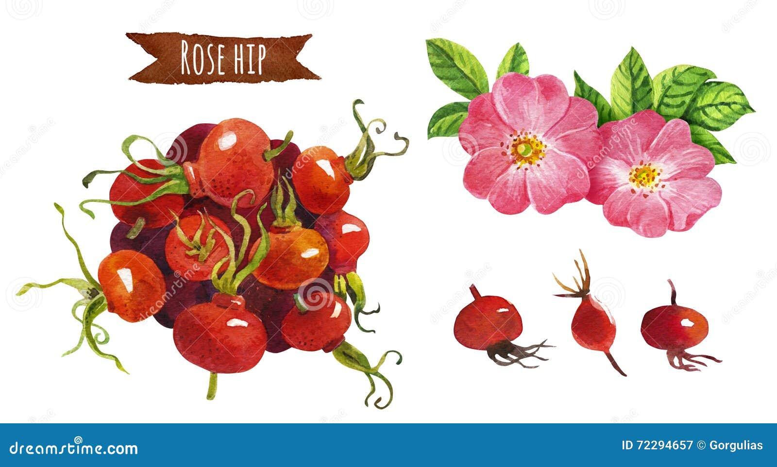 Download Розовое бедро, иллюстрация акварели, включенный путь клиппирования Иллюстрация штока - иллюстрации насчитывающей бело, предмет: 72294657