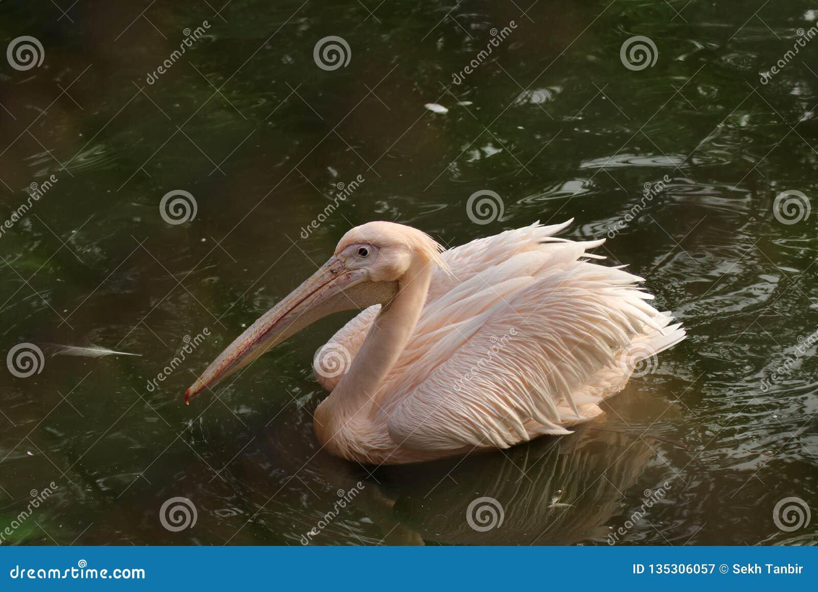 Розовое подпертое плавание пеликана на воде