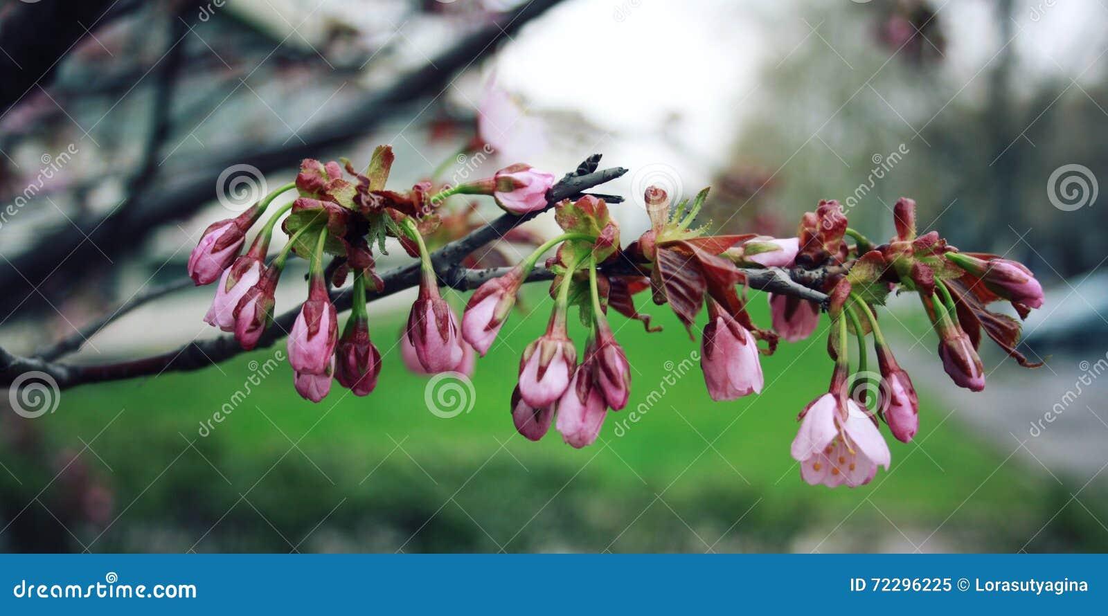 Download Розовое цветене Сакуры рокируйте Cesky весну сезона Krumlov наследия для того чтобы осмотреть мир фото тонизировало Стоковое Изображение - изображение насчитывающей влияние, флористическо: 72296225