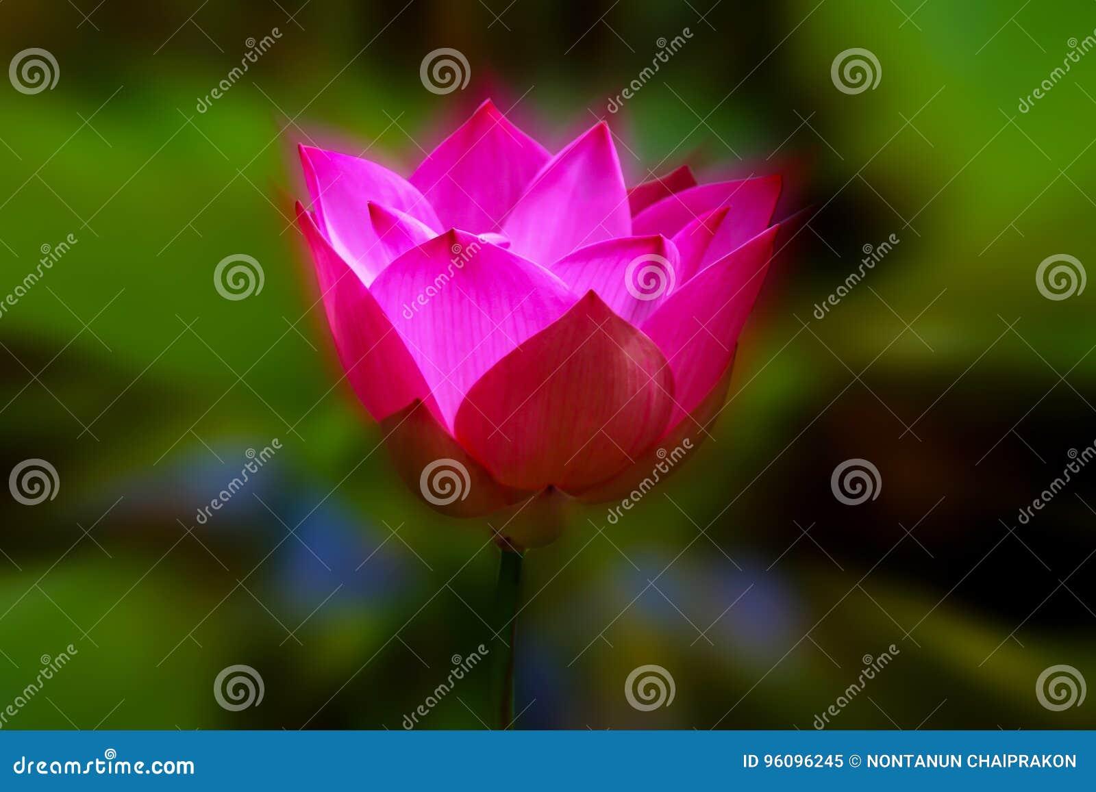 Розовое цветение лотоса