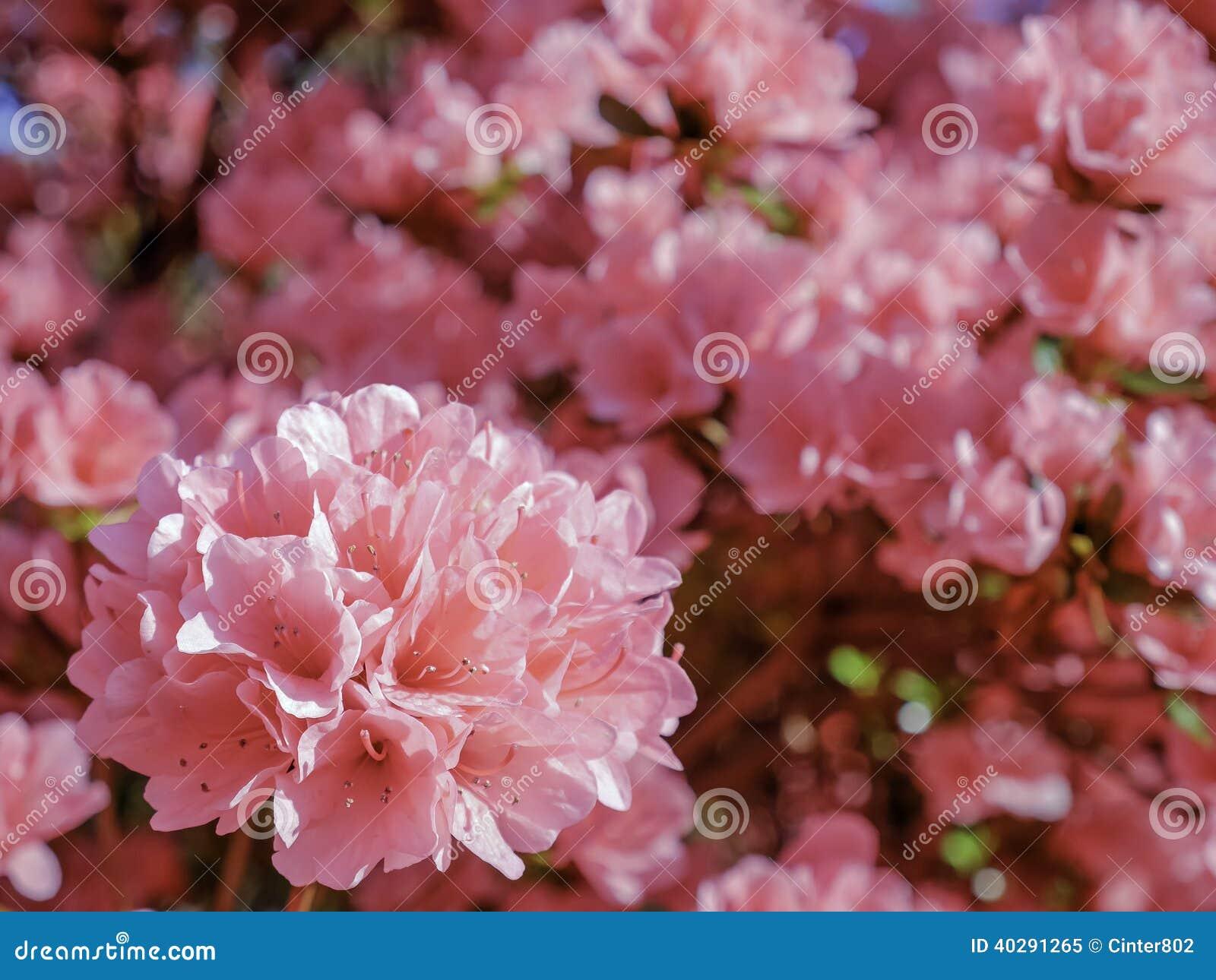 Розовые азалии колоколов коралла