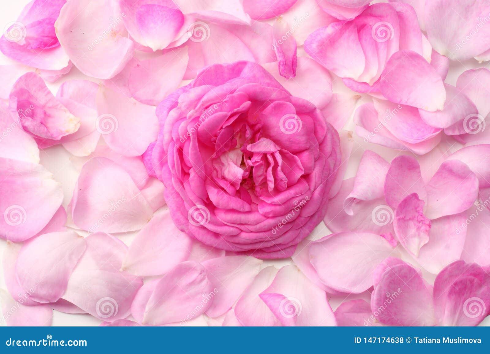 розовые лепестки розы изолированные на белой предпосылке r