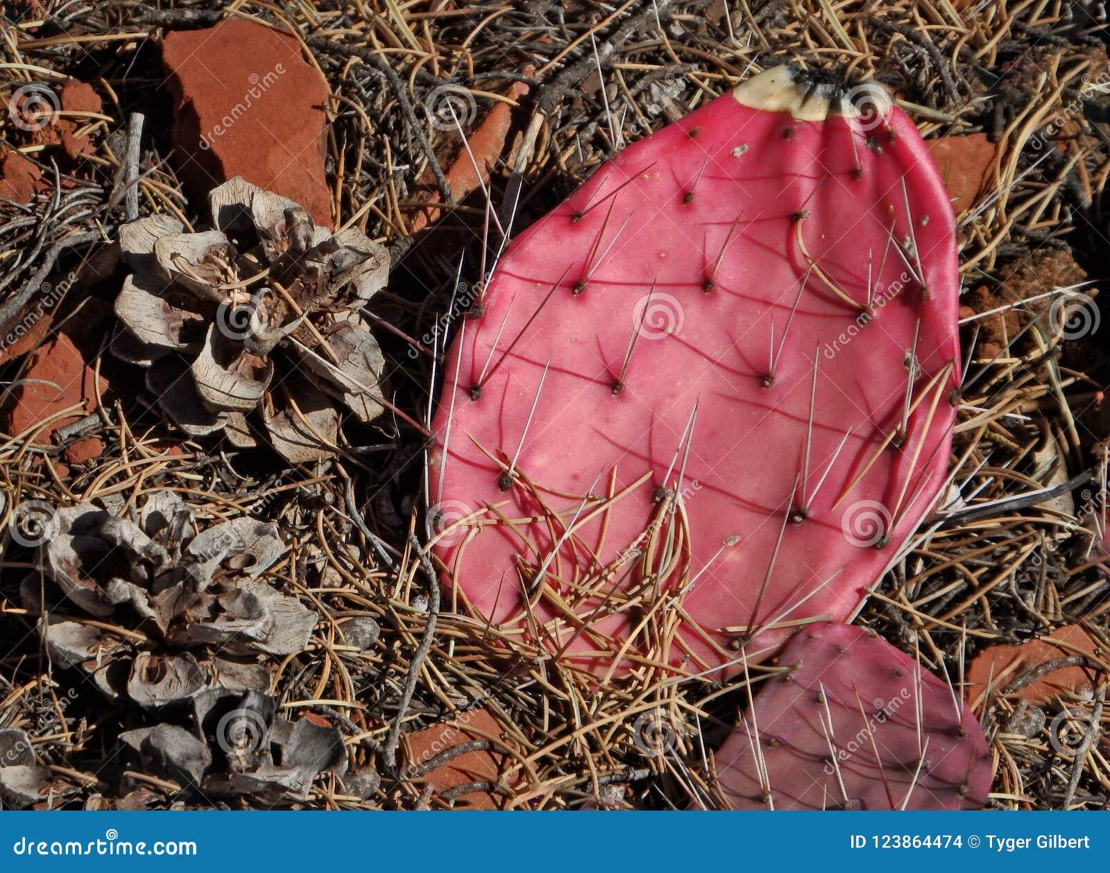 Розовые пусковые площадки кактуса шиповатой груши и конусы сосны