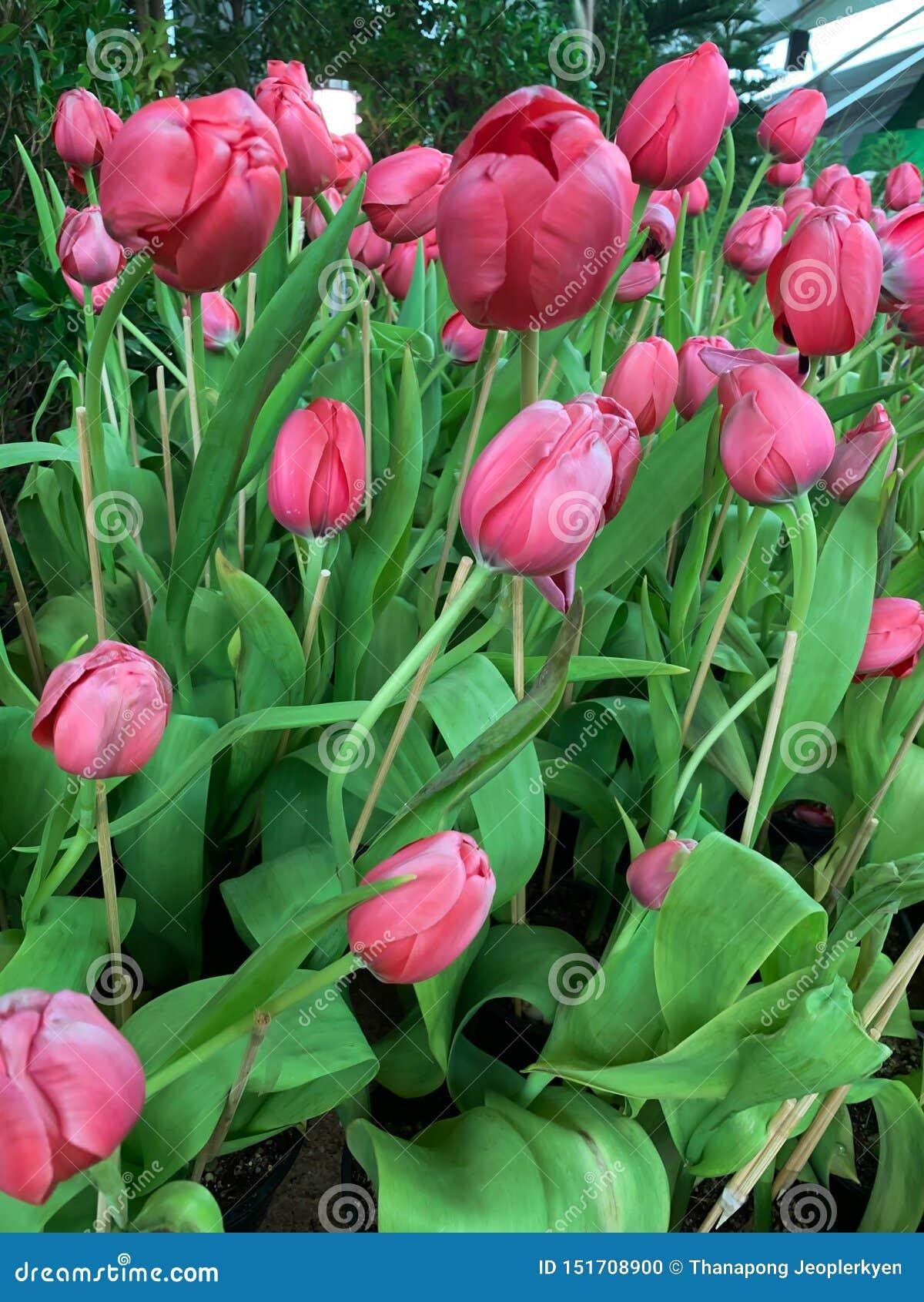 Розовые тюльпаны в предпосылке парка