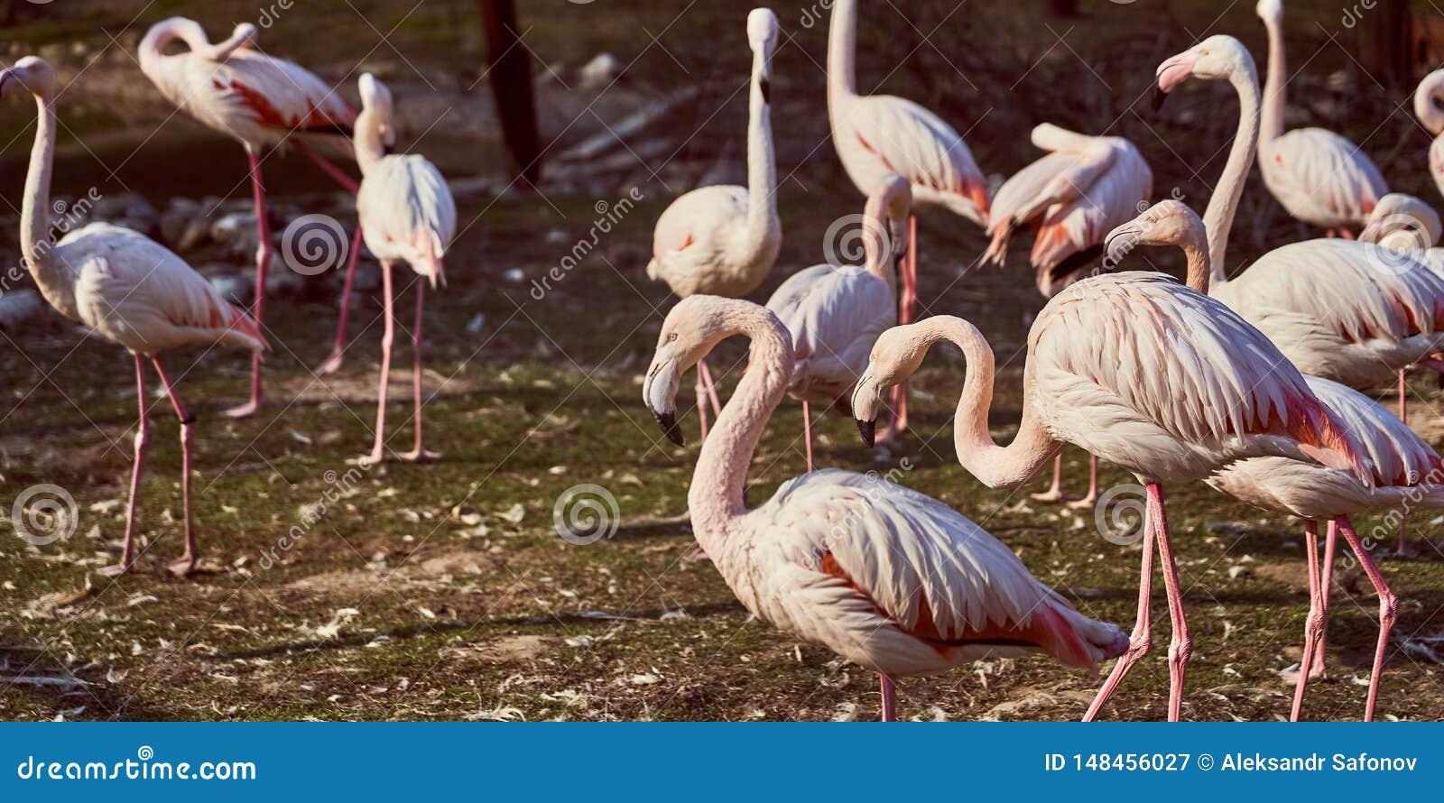 Розовые фламинго в стаде зоопарка