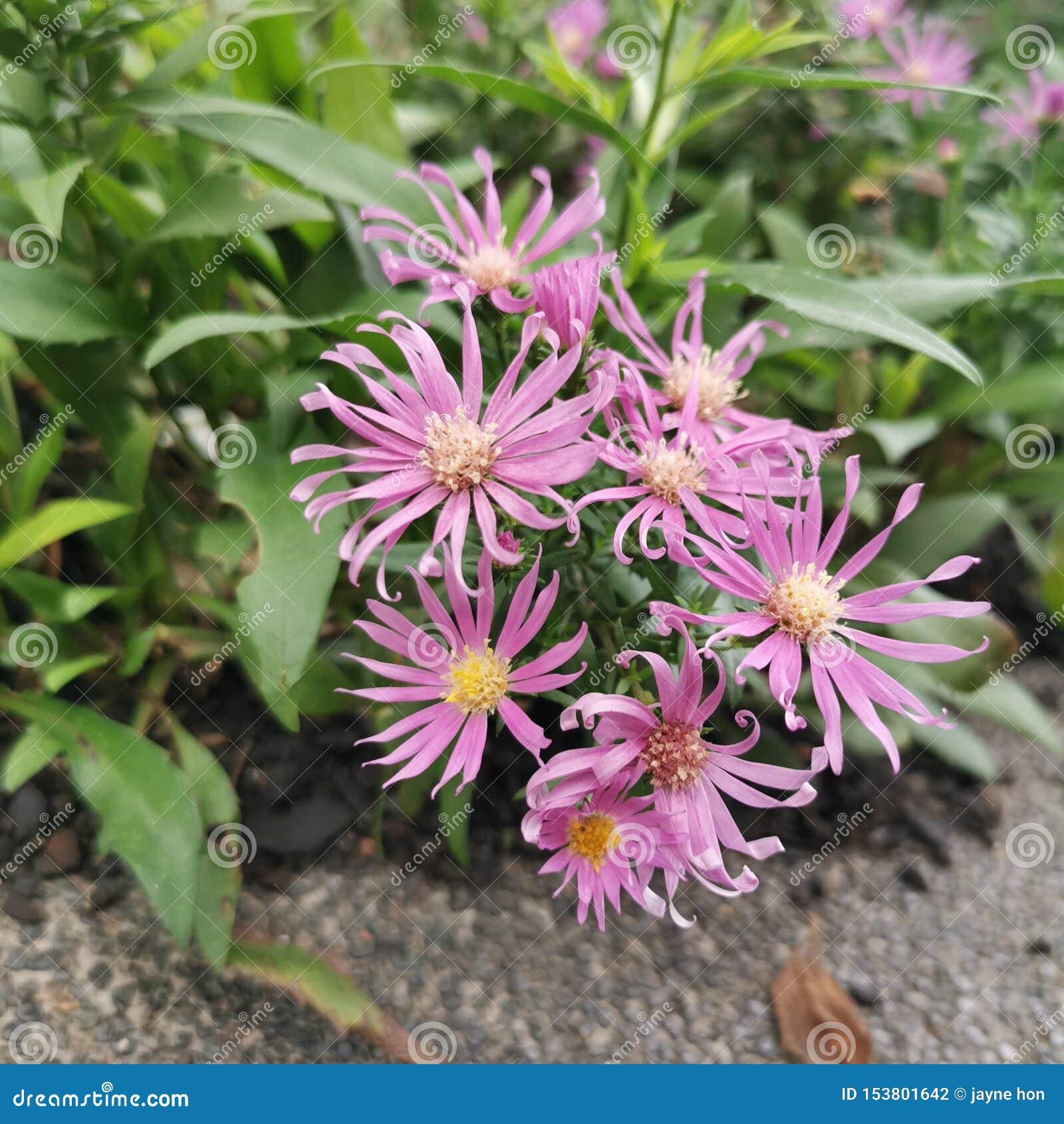 Розовые цветки в саде