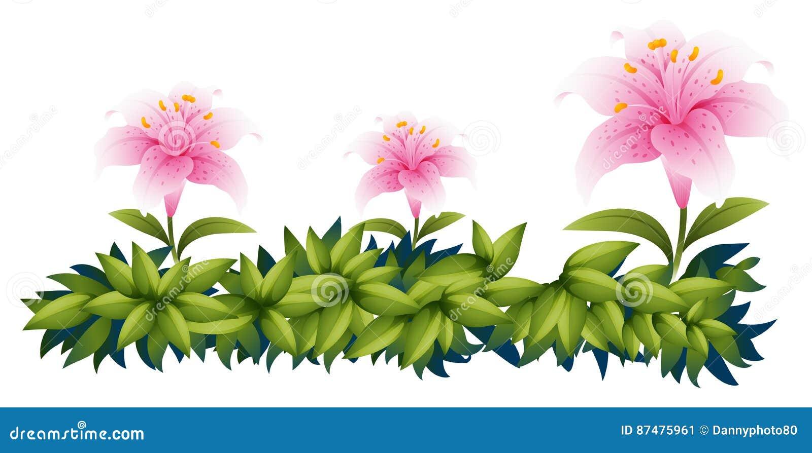 Розовые цветки лилии в кусте