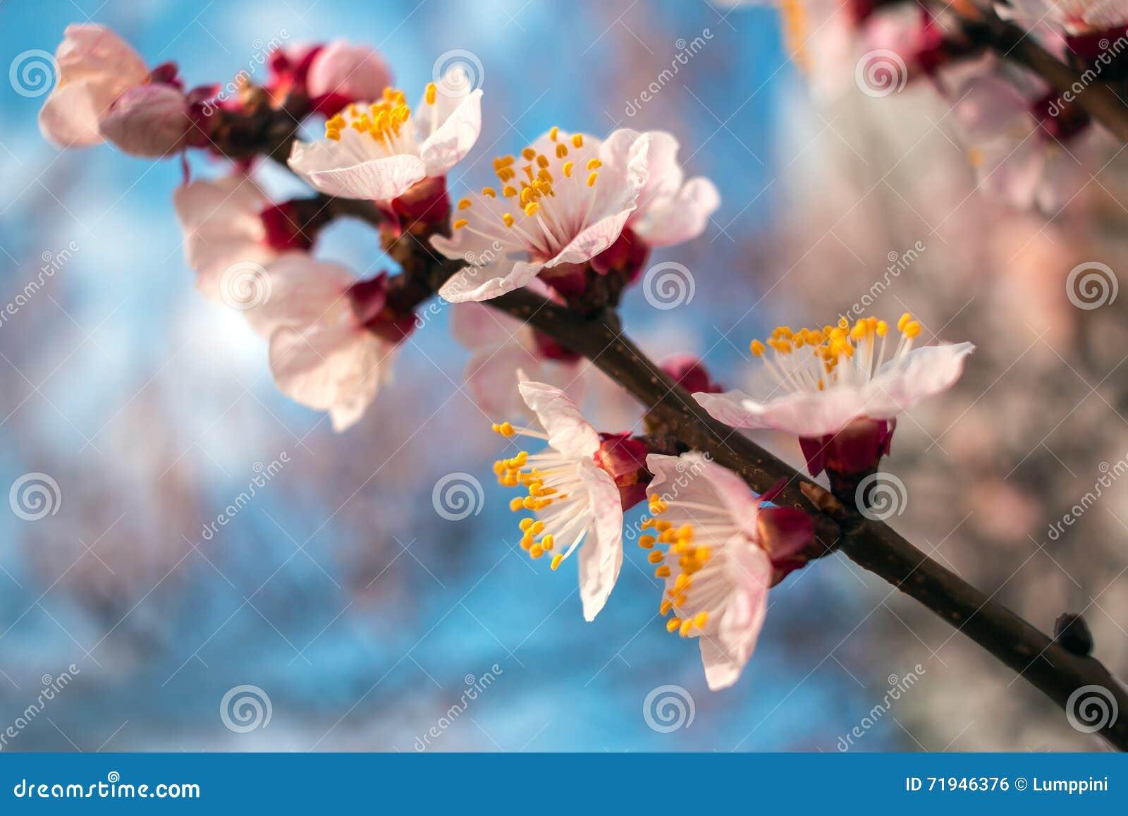 Розовые цветки на голубом конце-вверх предпосылки Деревья цветеня весны