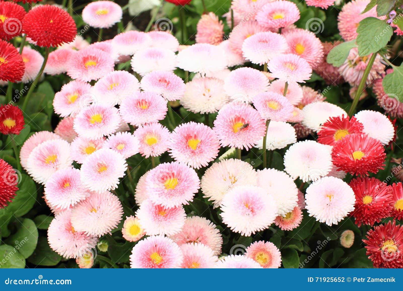 Розовые цветки - immortelle