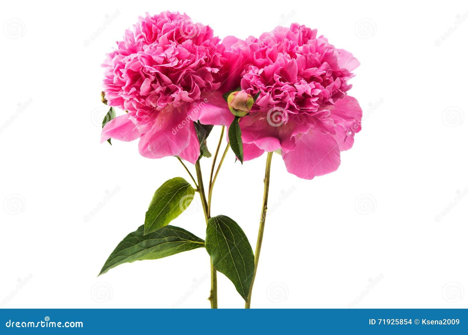 Розовый изолированный Peony