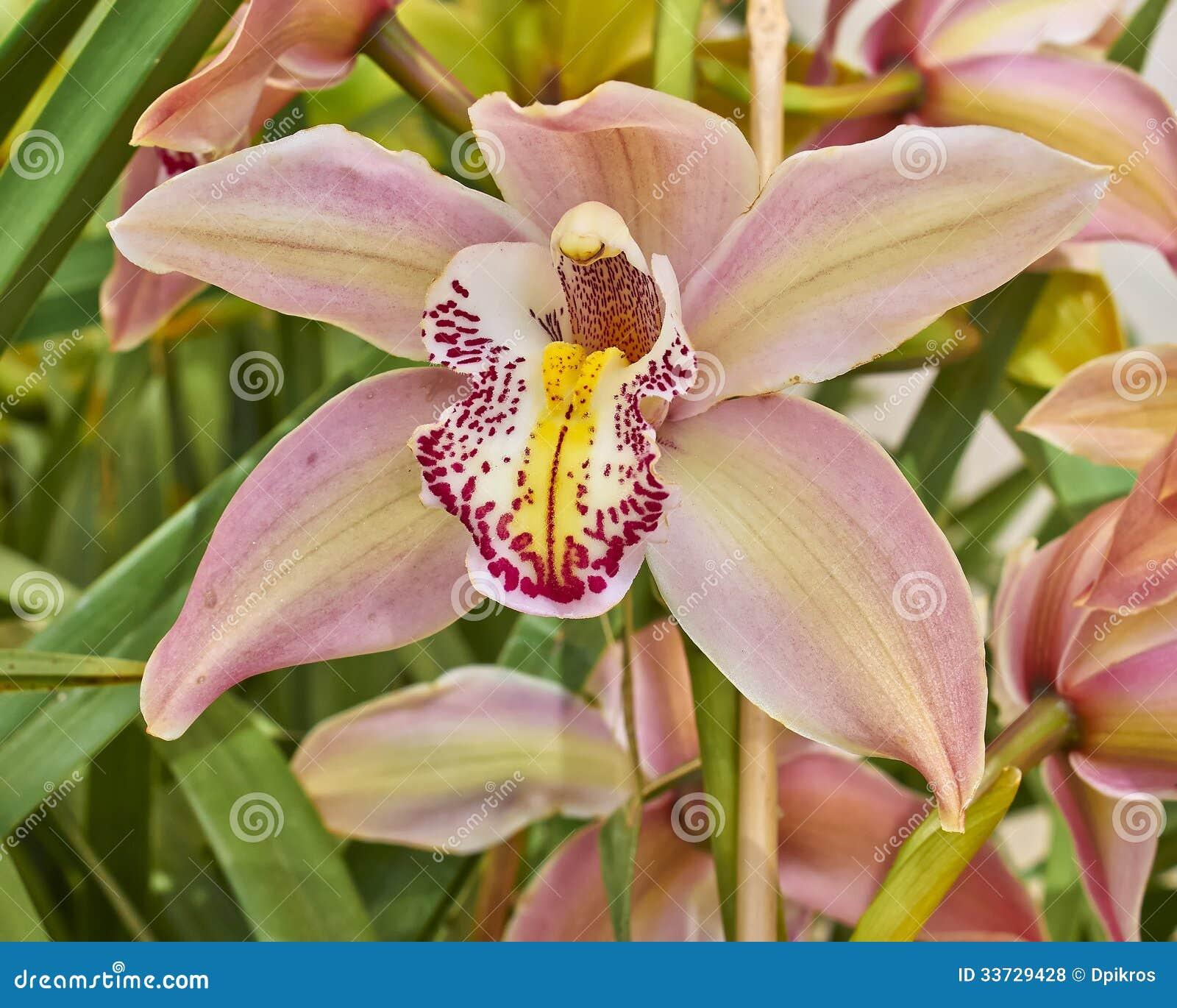 Розовый крупный план цветка орхидеи