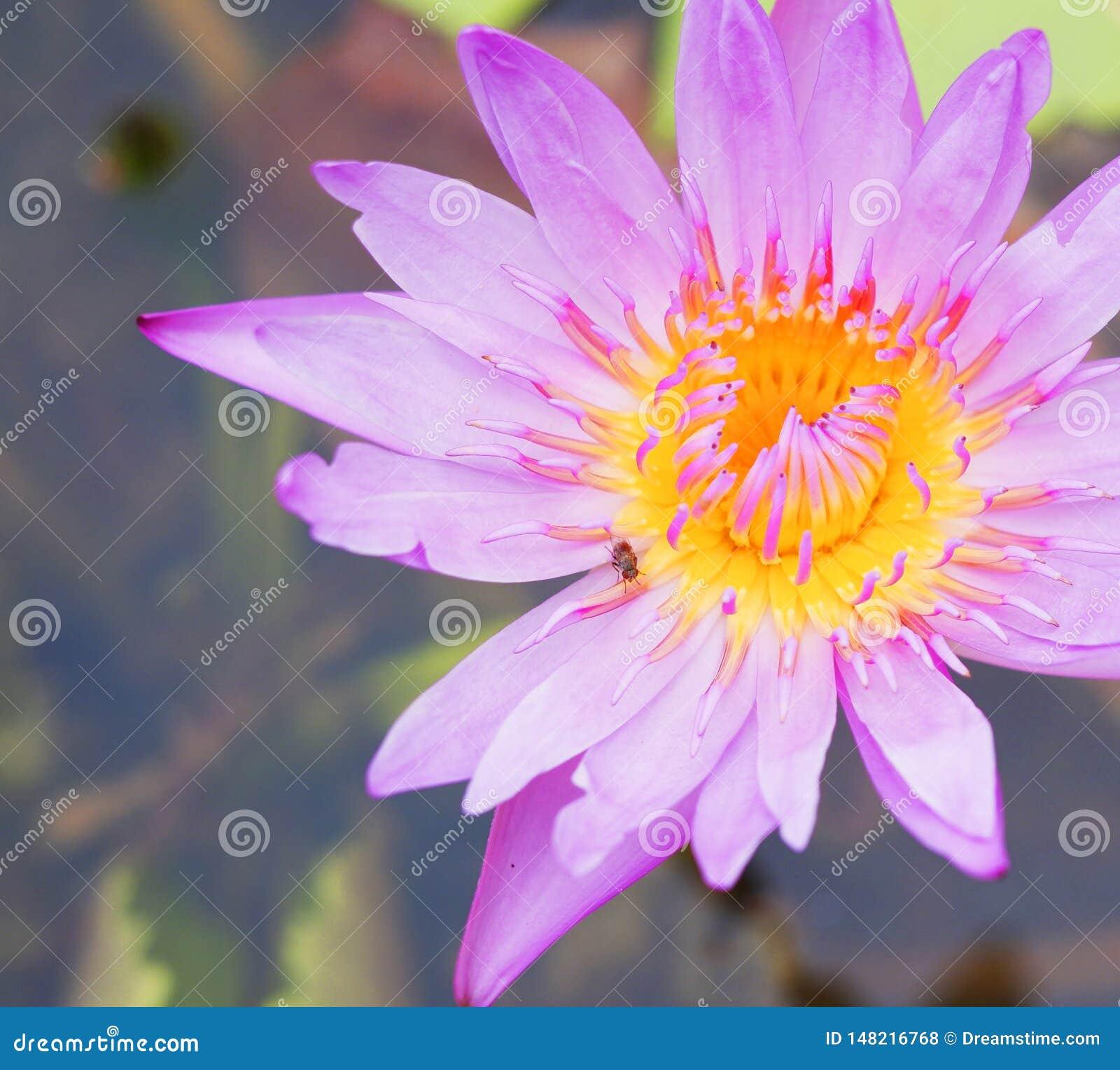 Розовый лотос зацветая с насекомым на верхней части