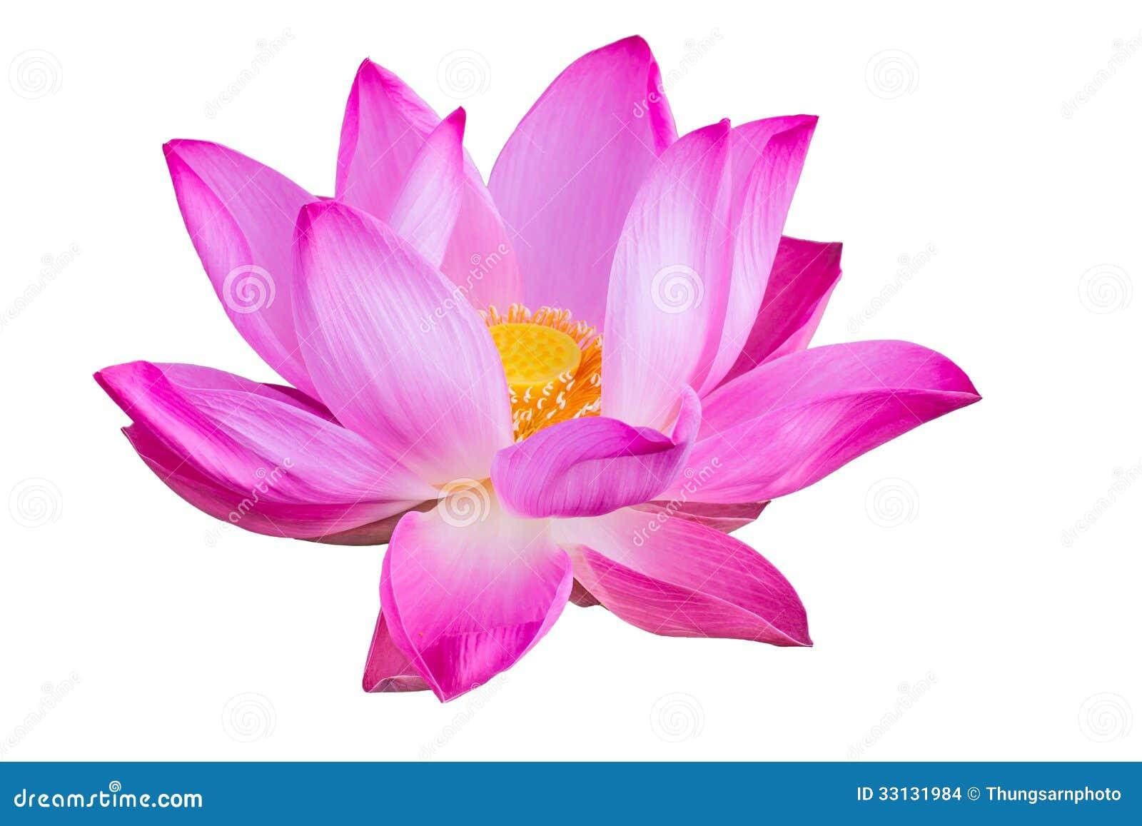 Розовый лотос на белой предпосылке