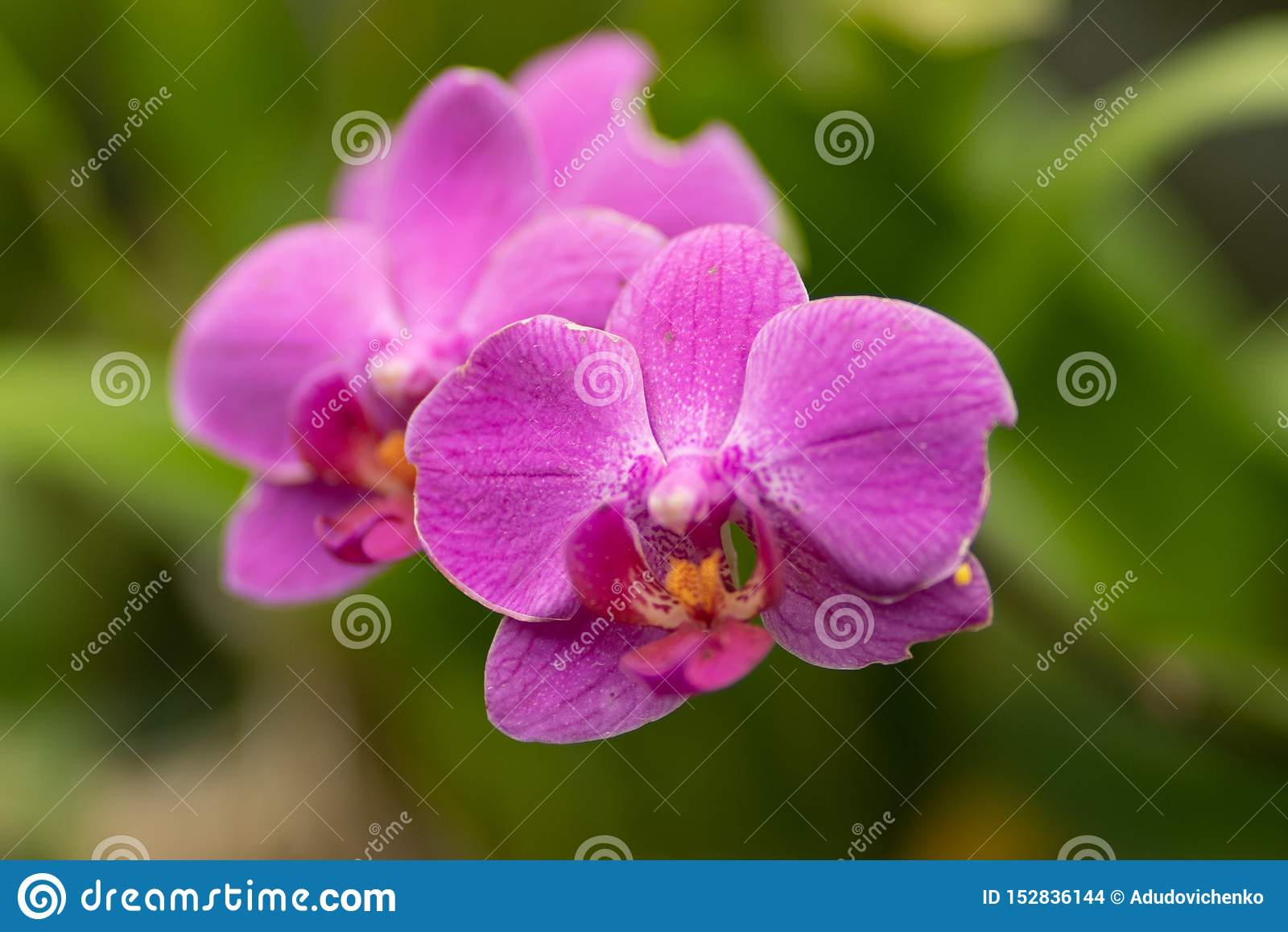 Розовый фаленопсис, розовый конец орхидеи вверх в мягком фокусе