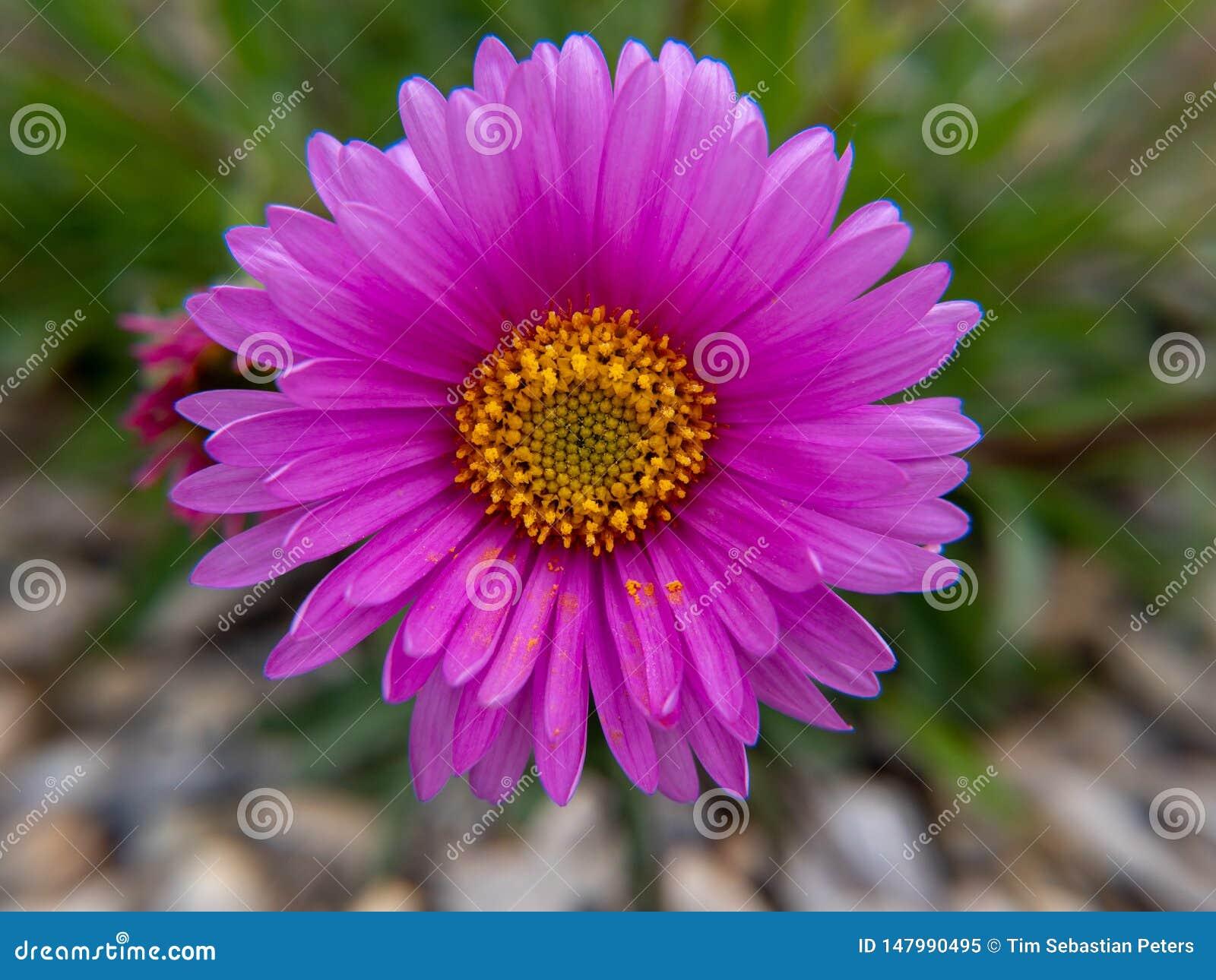Розовый цветок в саде