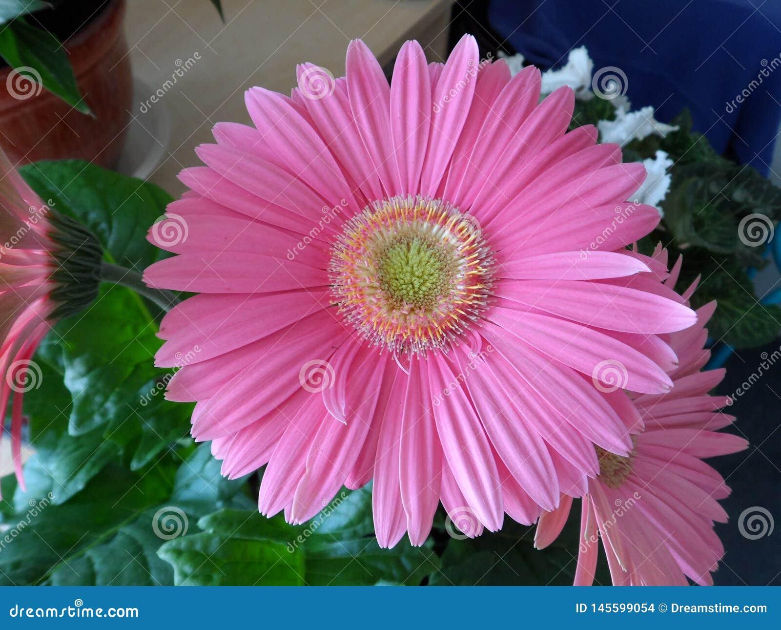 Розовый цветок gerbera внутри помещения зацветая в мае