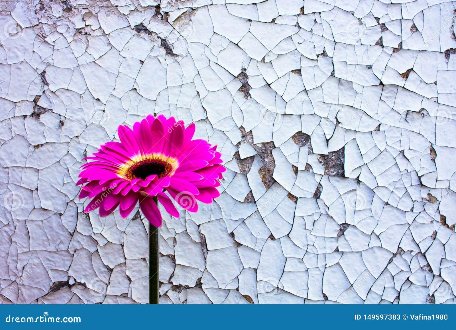 Розовый цветок gerbera на старой винтажной треснутой предпосылке краски
