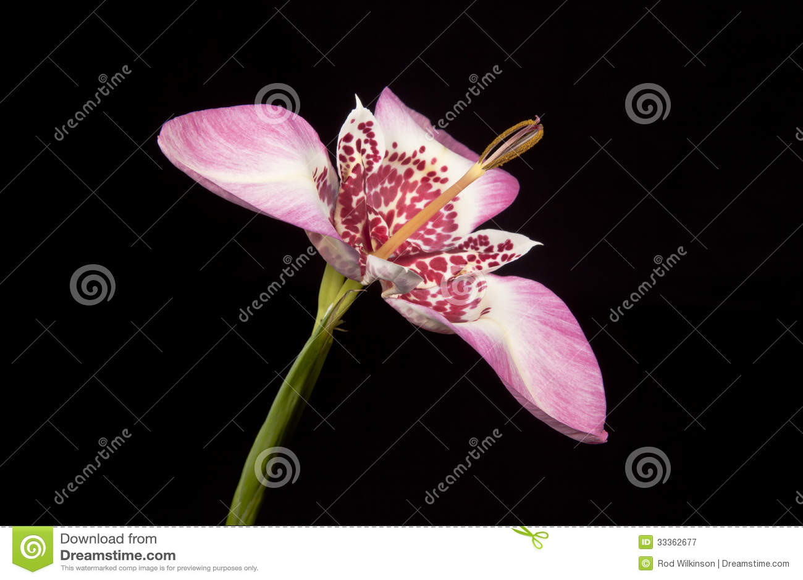 Розовый цветок tigridia