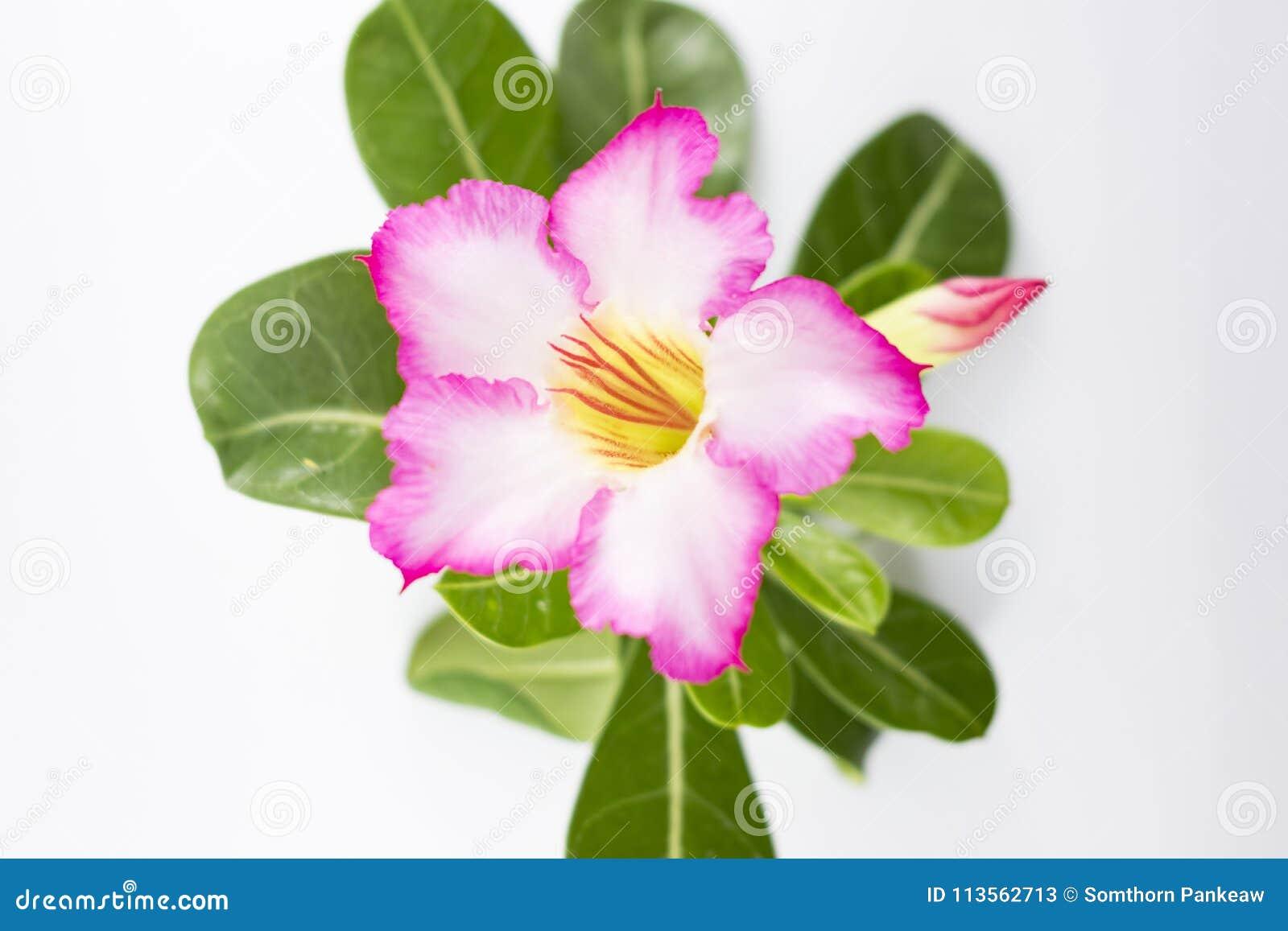 Розовый Adenium на белой предпосылке