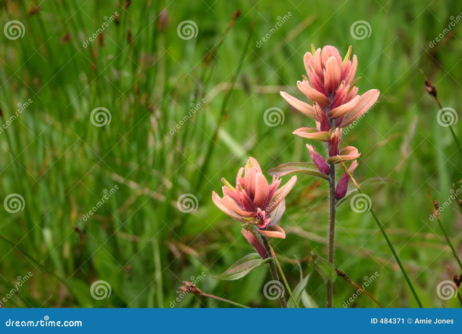 розовый wildflower