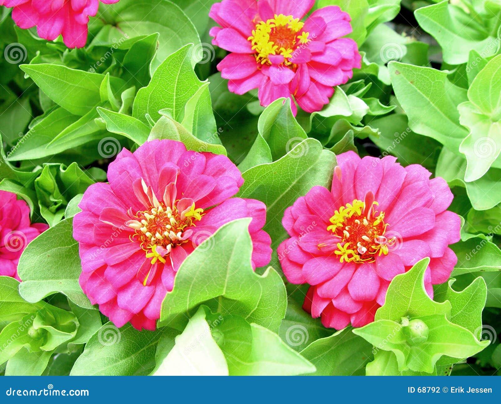 розовый zinnia