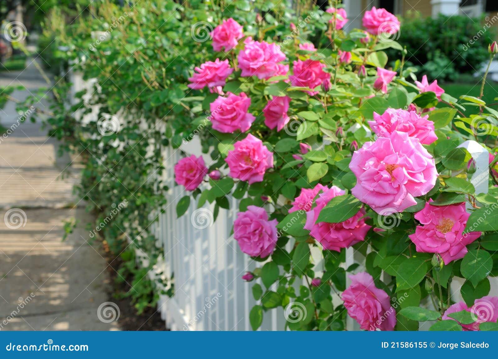 розы загородки розовые белые