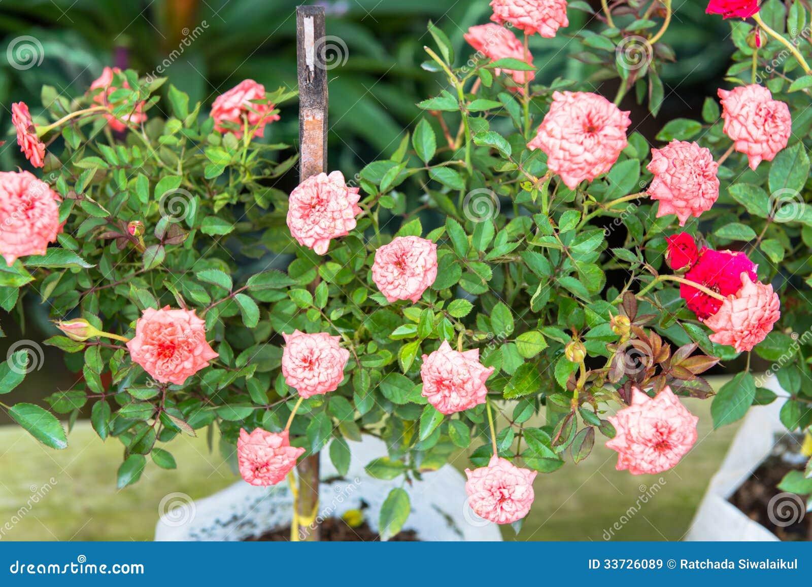 Розы на кусте