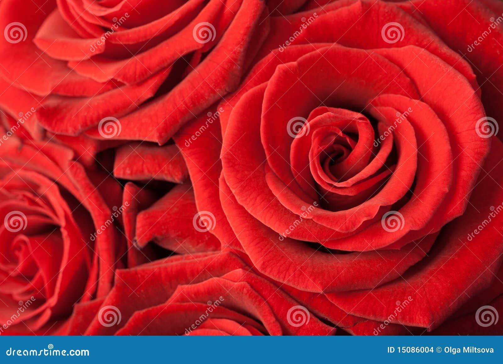 розы предпосылки красивейшие красные