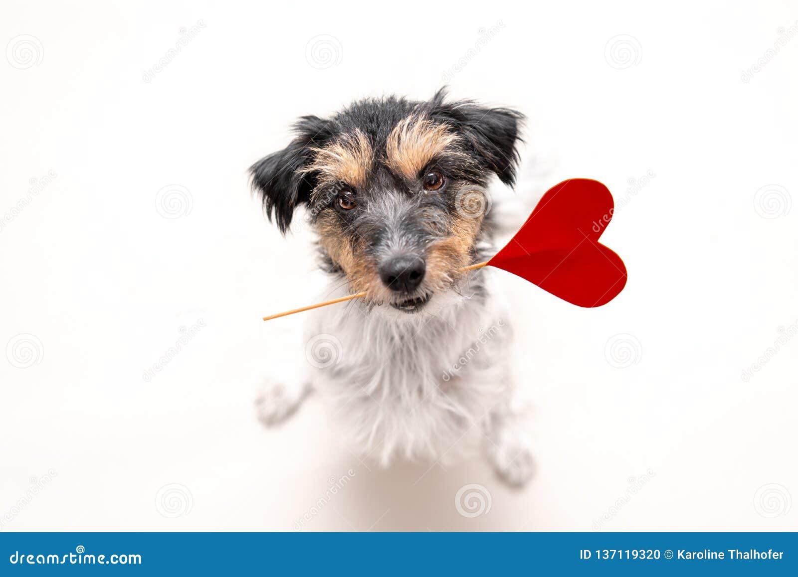 Романтичная собака - небольшой милый doggy терьера Джек Рассела с сердцем как подарок для Валентайн во рте смотрит вверх изображе