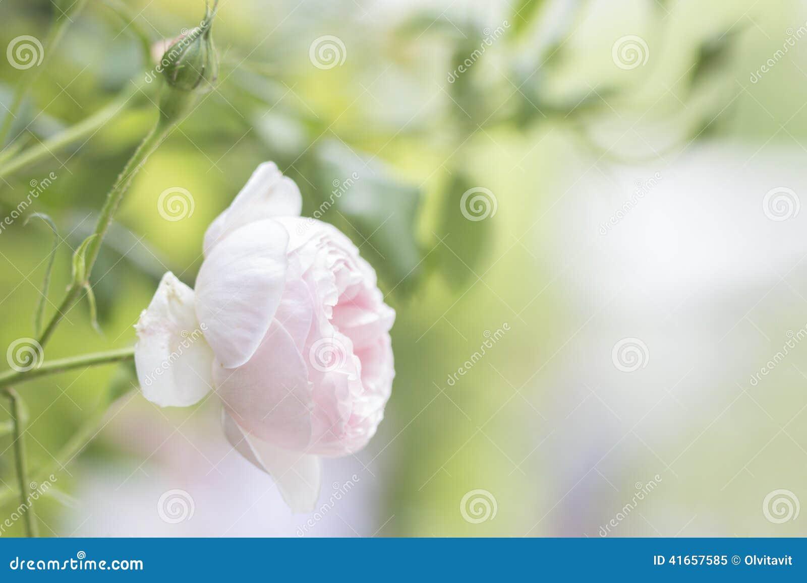 Романтичные розы пинка предпосылки природы