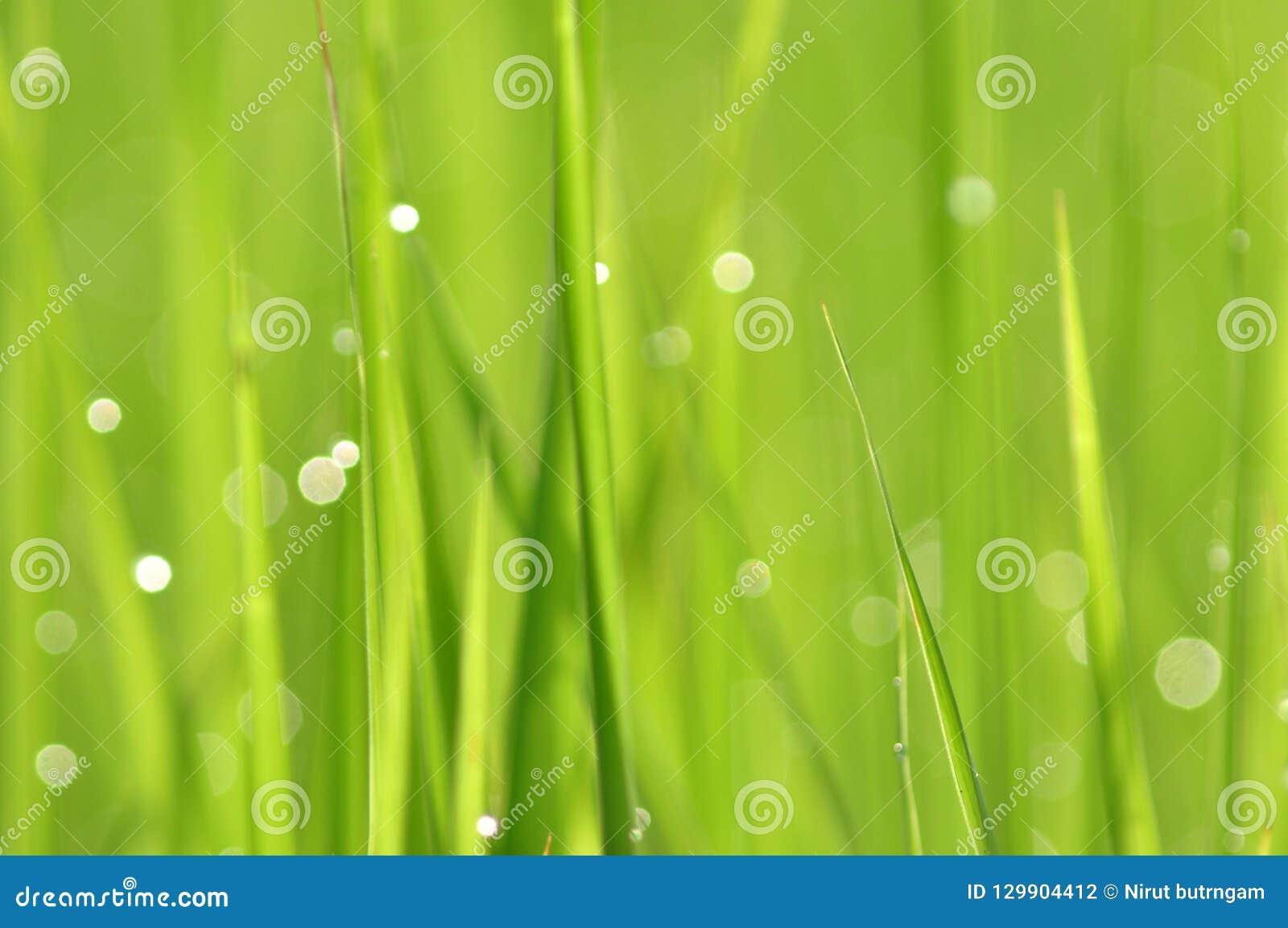 Роса на свежей зеленой траве с падениями воды внутри в утре Gre