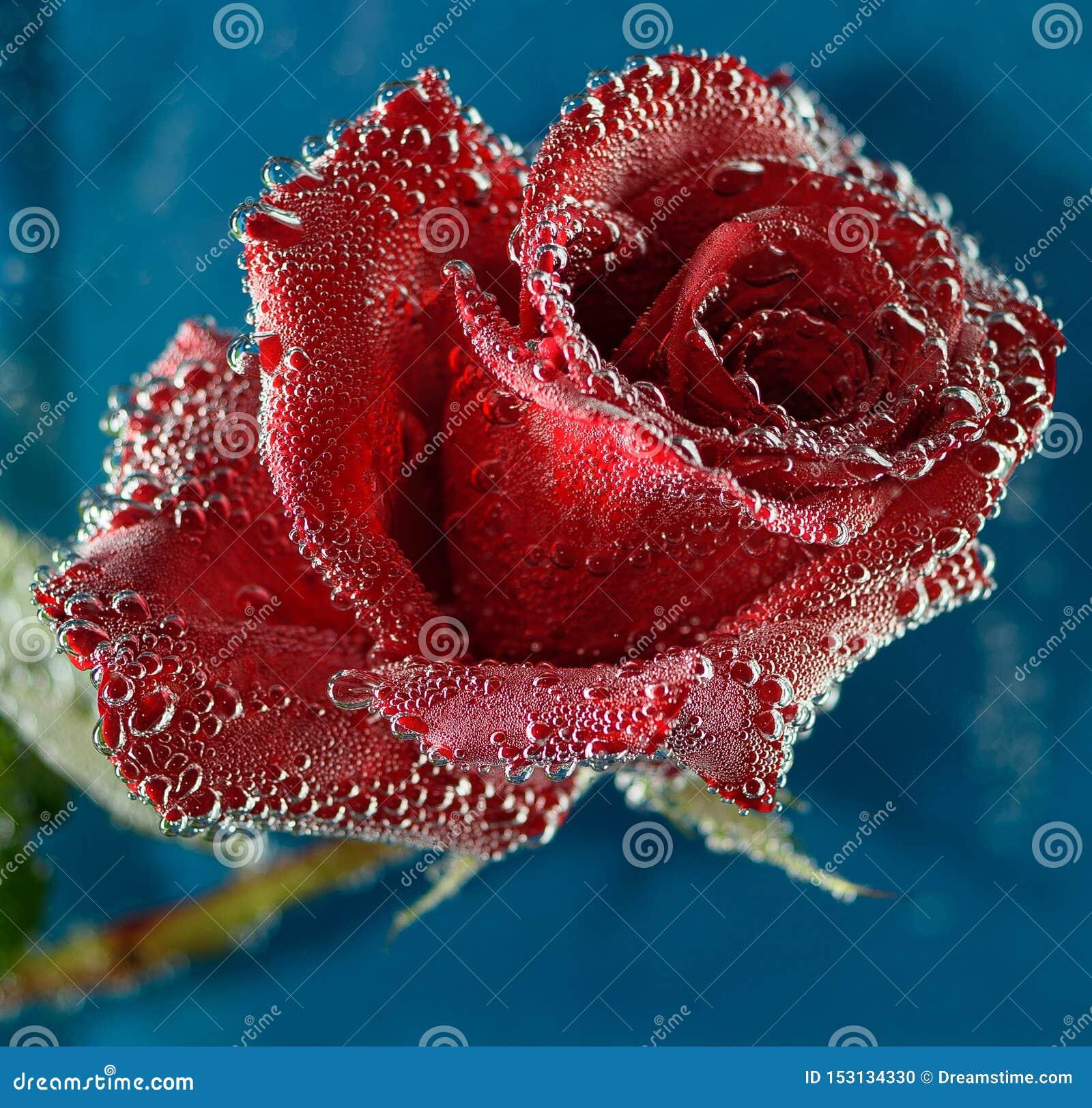 Роскошная красная роза с пузырями воды