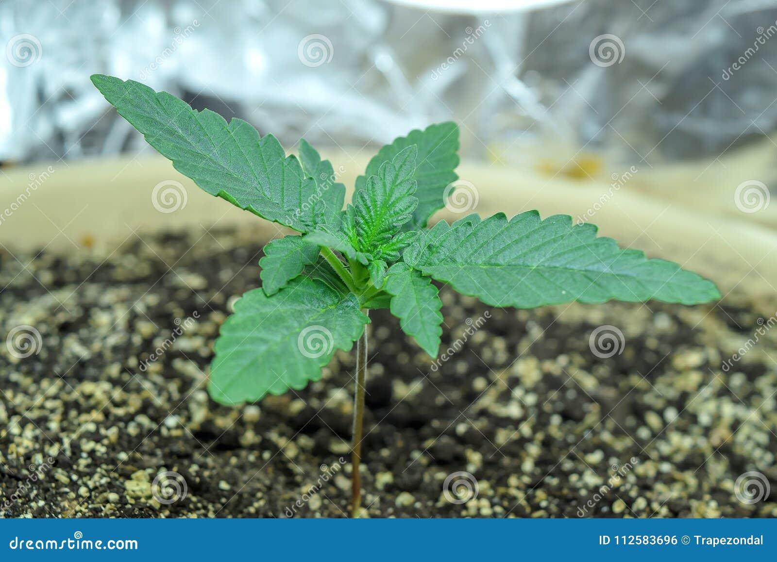 Конопля молодая фото сколько граммов одно растение конопли