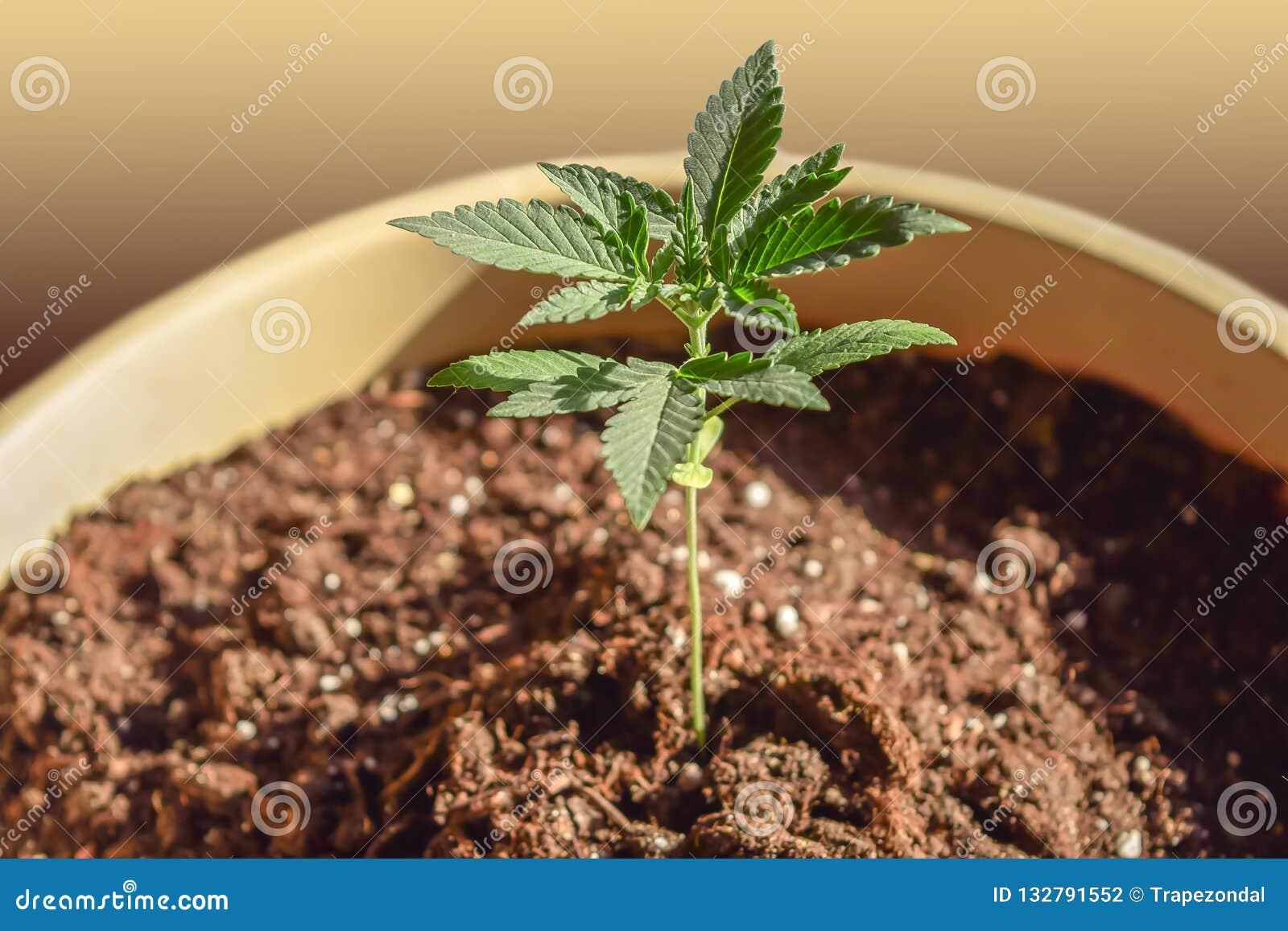 Фото ростка марихуаны марихуана опасный наркотик