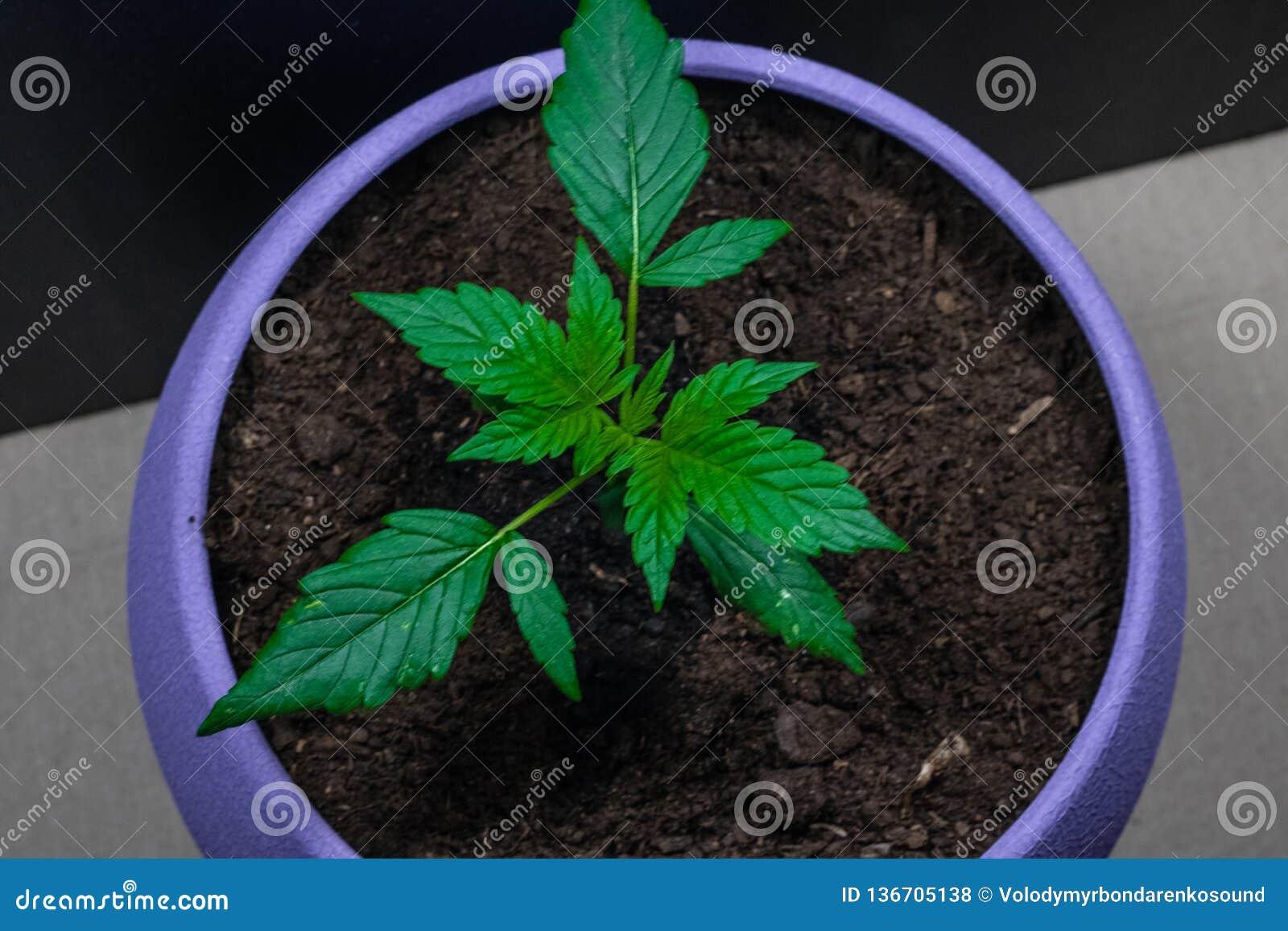 Базилик и конопля марихуана остаток в моче